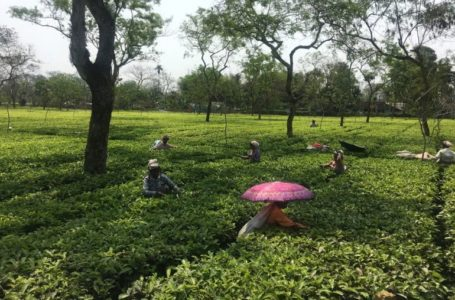 Tea garden workers in India's Assam hit by second wave of COVID